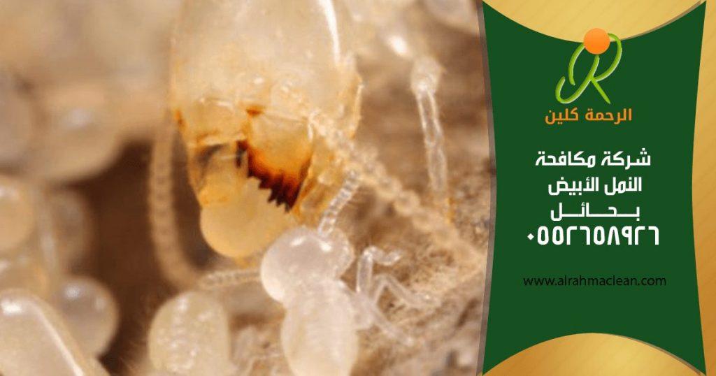 شركة مكافحة النمل الابيض بحائل - شركة مكافحة حشرات بحائل